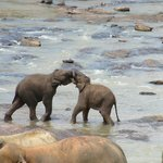 young elephants playing