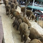 Elephants going down to the river for their daily bath