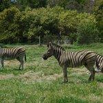 Zebra's unique identity 'barcode'