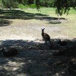 Kangaroos in shade