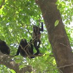 Monkeys in the trees out from of our unit