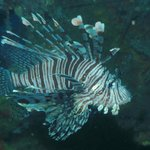 Lion fish at the Japanese Wreck, just love this fish