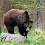 Jake the Grizzly, Montana Grizzly Encounter