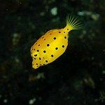 Yellow boxfish, Tacitolo, Timor