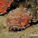 Toad Fish, Behau, Timor