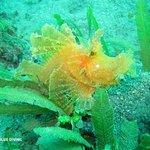 Weedy scorpionfish, Amed, Bali.