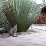 Wallaby visiting the courtyard