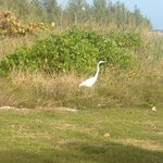 Beautiful bird (Egret?) at Taino beach