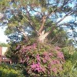 Magnifique buisson de bougainvillé à l'entrée du parc hôtelier