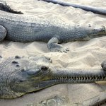 Crocodile Breeding Centre