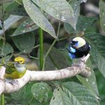 Golden hooded tanager (focus)