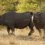 2 of the 4 black rhino we saw over 3 days