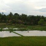 rice paddies @ Alam Jiwa