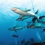 Shark Feeding at Vertigo, 12-28-12
