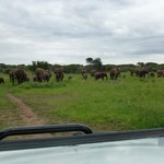 Large herd of elephants on the road