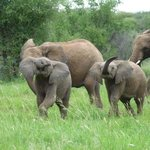 Younf elephants