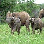 Younf elephants