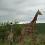 Giraffes next to the road