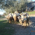 Pecore al pascolo ...
