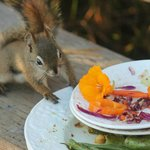A red squirrel enjoys a moment stealing a morsel from dinner on the deck