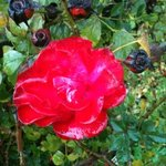 Rose in the kibbutz' garden