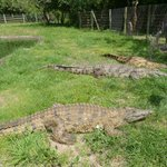Crocodiles in park