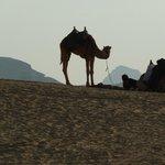 camel in Wadi Rum