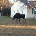 Bullwinkle the friendly moose