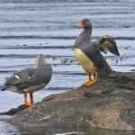 Steam ducks at Bahia Lapataia