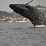 Humpback Whale in full breach!