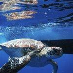 au revoir et remise à l' eau au grand large d' une tortuue de Leo