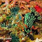 """Variable neon slug """"Nembrotha kubaryana"""", Amed, Bali."""