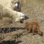 oscar meeting one of the llamas