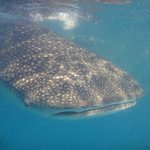 Go with Kitu Kiblu Whale Shark expeditions