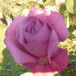 rose en janvier