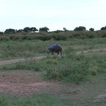 Hippo crossing the road