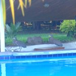 Tiger Herons visiting the pool