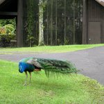 Peacock roaming the zoo grounds