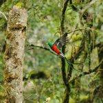A beautiful Quetzal