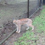 Emdoneni Cat Rehabilatation, inside with the Caracal!
