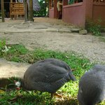The Guineafowl with the restaurant in the background