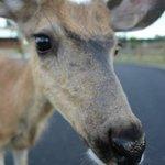 Resident Deer