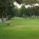 Lama's wondering the golf course