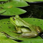 Froggies on the Lily Pads