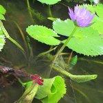 池には蓮が