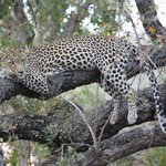 Momma Leopard in the tree(after dining on it's kill).