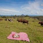 happy cows of the Maleny plateau area enjoy wonderful lifestyle and views