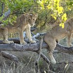 Game drive, lion cubs