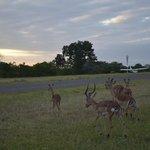 Impala ovunque
