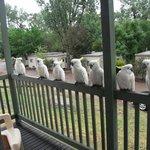Cockies on our verandah